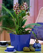 Zygopetalum mackaii (Fragrance Orchid from Brazil)