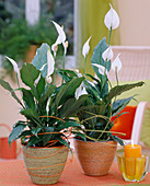 Spathiphyllum wallisii (leaf) in sisal planters