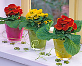 Calceolaria x herbeohybrida (slipper flowers in colorful glasses