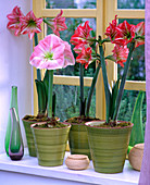 Hippeastrum (Amaryllis) in tall pots by the window
