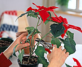 Further cultivation of Euphorbia pulcherrima (Poinsettia)