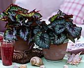 Begonia 'Merry Christmas' u. 'Lucky Colors' / Rex_Begonien