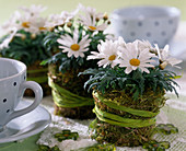 Argyranthemum frutescens, as a table decoration