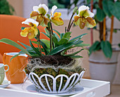 Paphiopedilum (Lady's slipper orchid) with wirevine tendril wreath