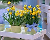 Narcissus 'Tete A Tete' (Daffodil) in yellow Spatopf
