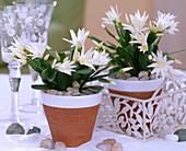 Rhipsalidopsis gaertneri 'Alba' (Easter cactus), stones