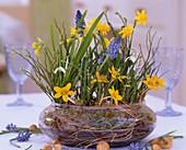 Narcissus 'Tete A Tete', Muscari 'Blue Pearl',