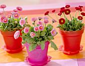 Bellis 'Tasso' pink and red (amarant)