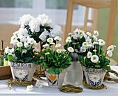 Bellis 'Tasso' white (daisy), Primula 'Dawn Ansell'