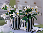 Rhipsalidopsis gaertneri 'Alba' (Easter cactus) in black and white