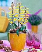 Lachenalia 'Ronina' Kaphyazinthe, scented spring onion flower