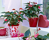 Anthurium andreanum 'Silence', at the window