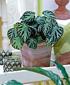 Begonia Optima Series 'Silver Yewell' (Foliage Begonia)