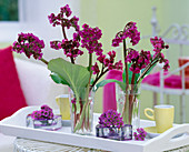 Bergenia cordifolia (Bergenie) in glasses on wooden tray