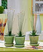 Syngonanthus 'Mikado' (Mikado plant) in light green pots