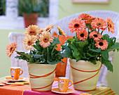 Gerbera hybrids in pastel yellow pots