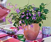 Streptocarpus saxorum in salmon-colored pot