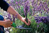 Lavender harvest, Lavandula (lavender) to dry in bloom