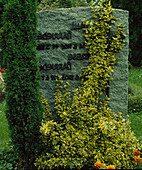 Gravestone overgrown with Euonymus fortunei 'Emerald'n Gold'