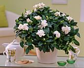 Gardenia jasminoides (gardenia) in white pot