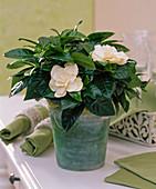 Gardenia jasminoides / Gardenie im grünen Glastopf