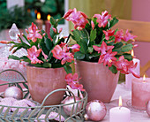 Schlumbergera 'Beach Dancer' Christmas cactus, pink candles, pink balls