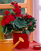 Begonia elatior (begonia) in red enamel bucket