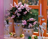Schlumbergera 'Witte Eva' Christmas cactus, tree decorations, angel candlesticks