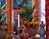 Cordyline fruticosa 'kiwi', Juglans, round clay pots