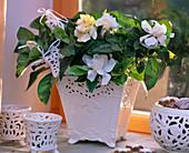 Gardenia jasminoides (gardenia), white ceramic pot