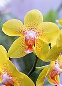 Phalaenopsis / Malayenblume, gelbe Blüte mit oranger Mitte und orangen Flecken