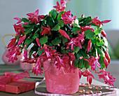 Schlumbergera Tendenza 'Exotic Dancer' (Christmas Cactus)