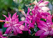 Schlumbergera 'Jolly Dancer', Pink-White Flowers