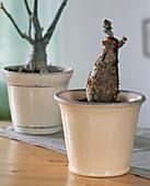 Jatropha podagrica (bottle plant)