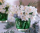 Narcissus 'Ziva' (Tazett Daffodil)