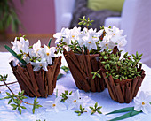 Clay pots covered with cinnamon sticks, Narcissus 'Ziva' Tazett daffodils, Eucalyptus