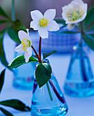 Helleborus niger (Christmas rose) stalks in swinging vase