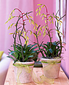 Vriesea Scalaris, with hanging flowers, twigs as support