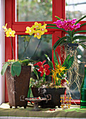 Phalaenopsis, Cattleya