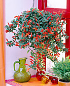 Columnea (throat vine as a flower basket at the window)