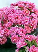 Kalanchoe blossfeldiana 'Cerise pink'