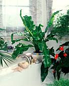 Asplenium nidus, in the bathroom