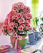 Rhododendron simsii 'Mevr.Gerard Kint' (Azalea Pyramid)