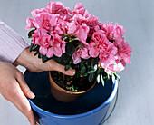 Rhododendron simsii (room azalea) dive