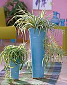 Chlorophytum (green lilies)