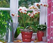 Phalaenopsis (Malayan flower) at the window
