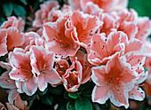 Rhododendron simsii 'Mevr Gerard Kint'