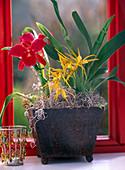 Cattleya, Brassada 'Mivada' (Orchids)