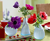Anemone coronaria (poppy anemone) in glass vases