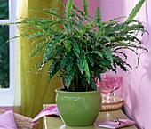 Calathea rufibarba 'Blue Grass' (Korbmarante)